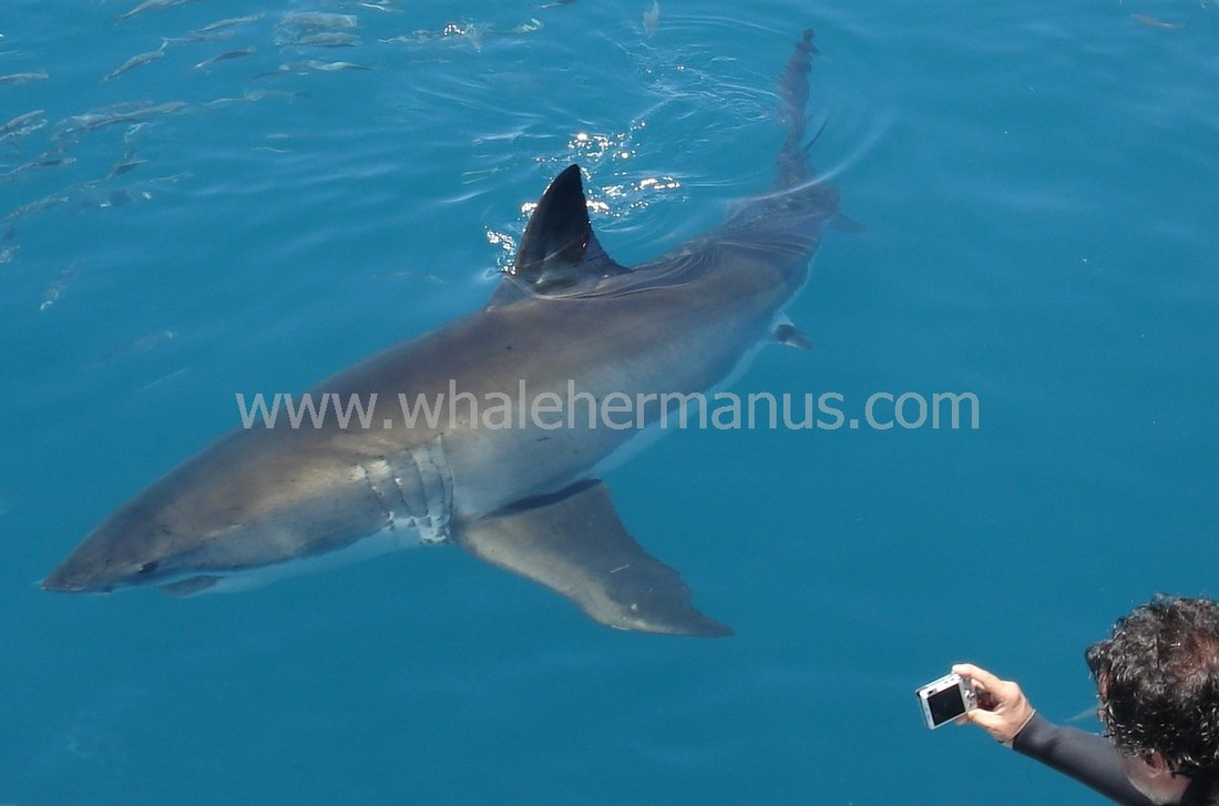 Great White Shark cage diving trips in Hermanus, South Africa