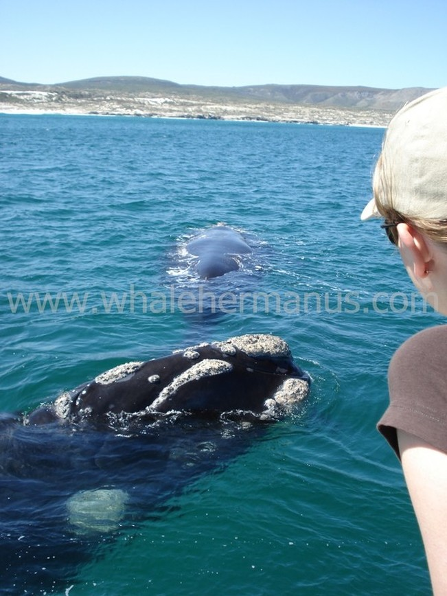 Whale Watching Boat Trips in Hermanus, South Africa