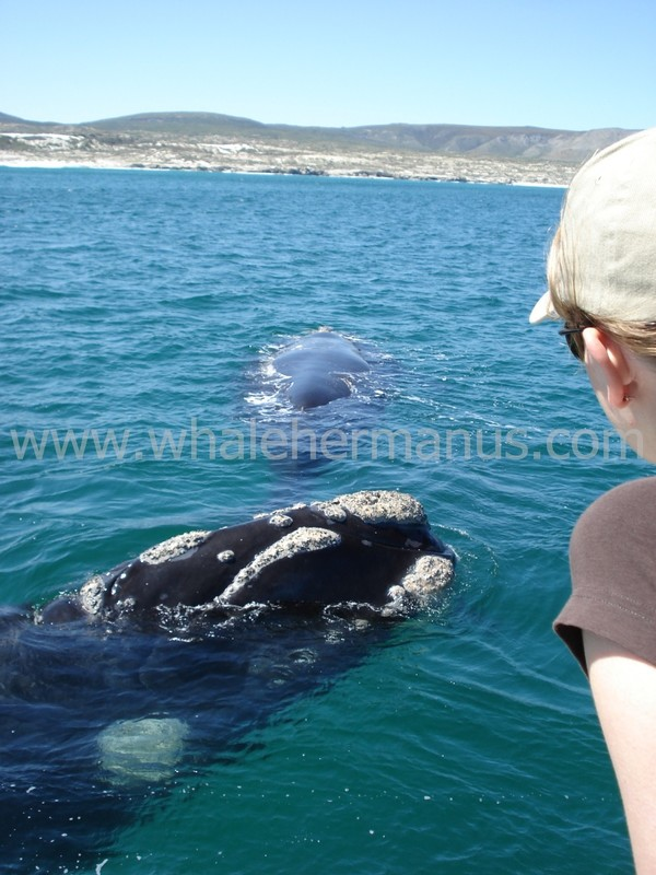 Whale watching boat trips Hermanus, South Africa